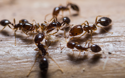 Ant Treatment Services London