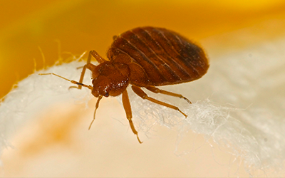 Bed bug treatment services in London