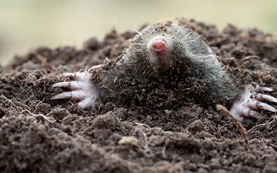 Mole Pest Control Services London