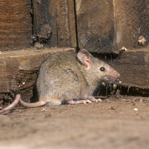 Rodent Control Services London