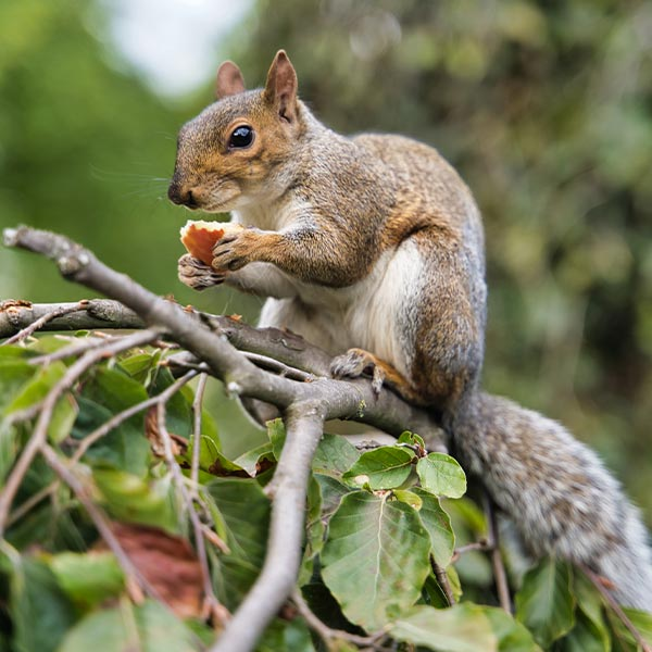 Squirrel Control and Squirrel Proofing Services in London